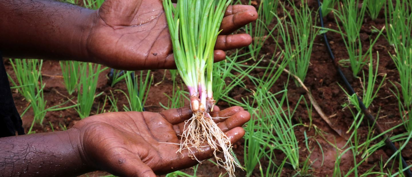 Drip Irrigation System For Onion | Onion Farming in India