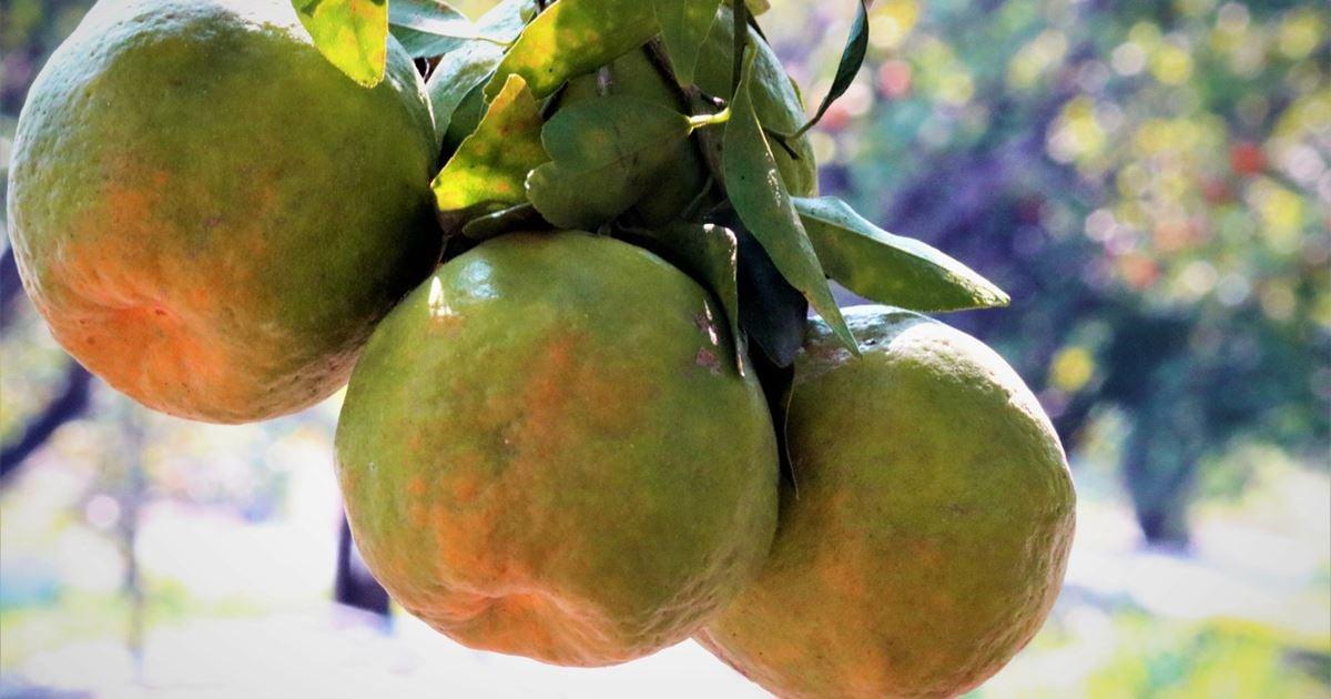 Drip Irrigation For Citrus Trees - Netafim India