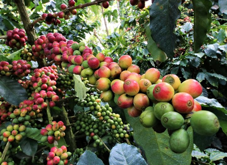 From crop to coffee faster with precision irrigation  Netafim